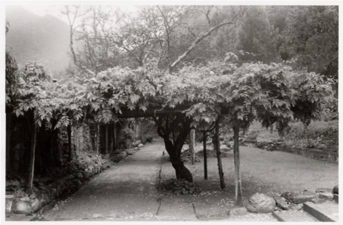 Tassajara wisteria